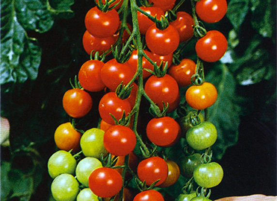 Tomato  'Supersweet 100'