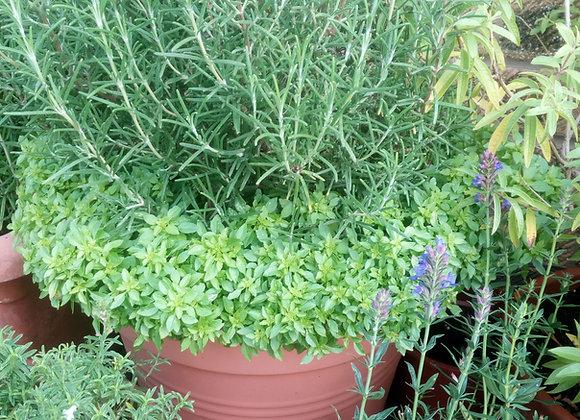 Mediterranean Herb Collection