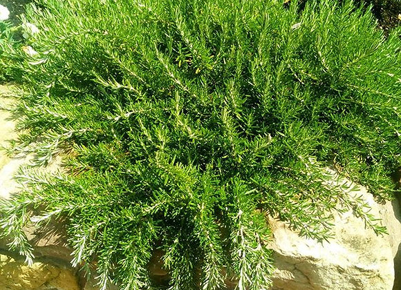 Rosemary 'Prostratus' (trailing variety)