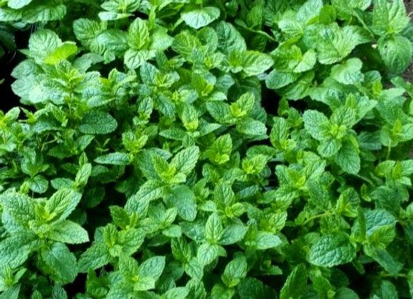Mint 'Morrocan'