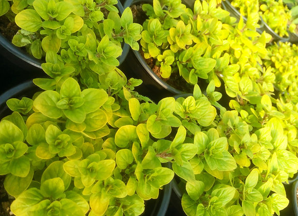 Oregano 'Golden'