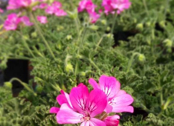 Pelargonium 'Pink Capitatum'  (Floral Rose Scented)
