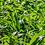 Thumbnail: Wild Garlic