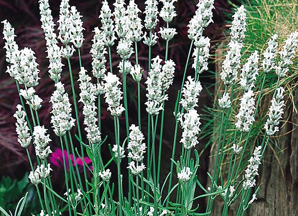 Lavender 'Arctic Snow'