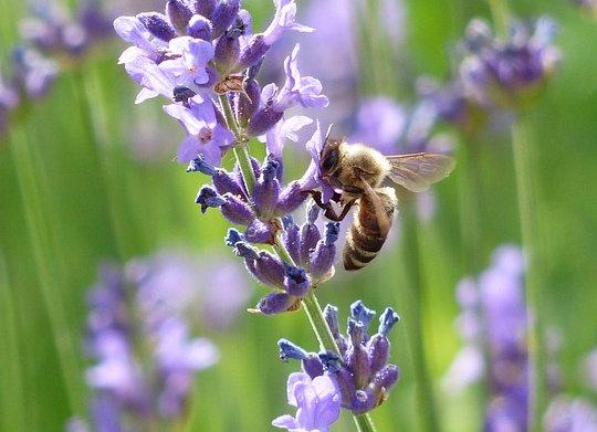 Lavender 'Vera'
