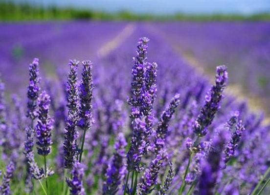 Lavender 'Grosso'
