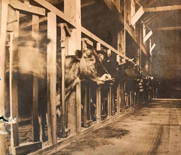 1960: Tom's dairy cows in the Sawyer's Farm barn