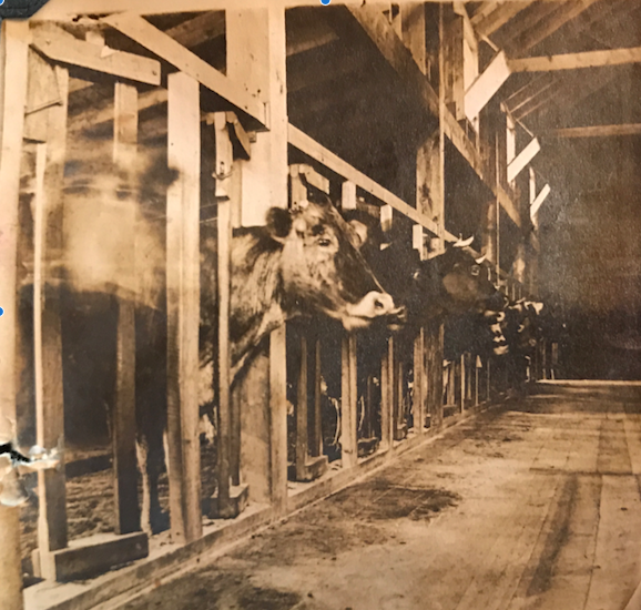 1960: Tom's dairy cows in the Sawyer's Farm barn