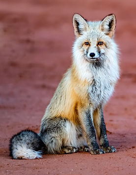 Grey fox (1 of 1).jpg