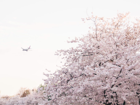 Five Essential Tips for Seeing DC's Cherry Blossoms