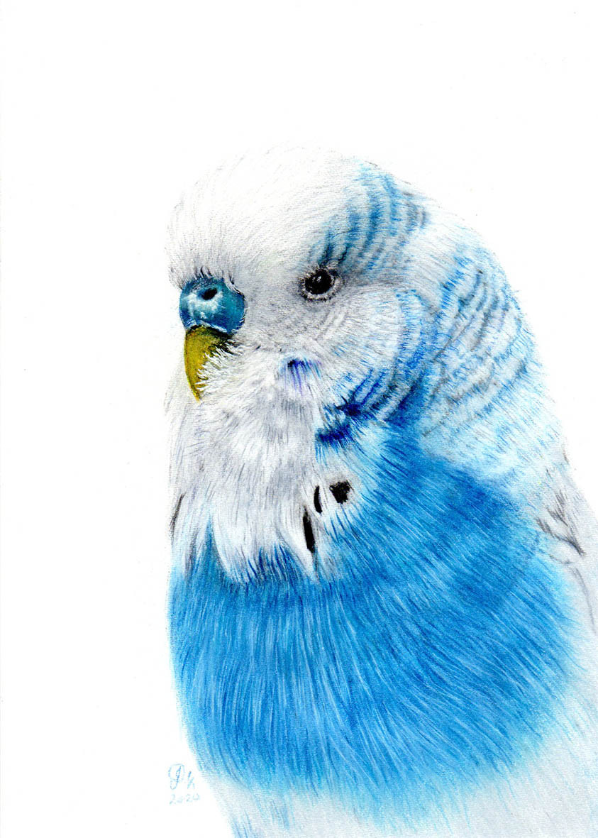 A last-minute commission of a little blue and white budgie was a fitting end to a difficult year!