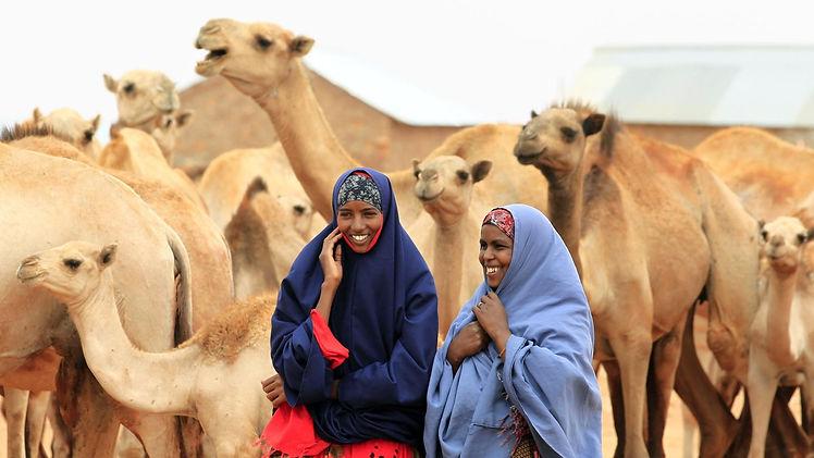 Somali camels.jpg