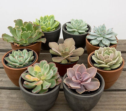 business%20line%20assorted%20succulents_