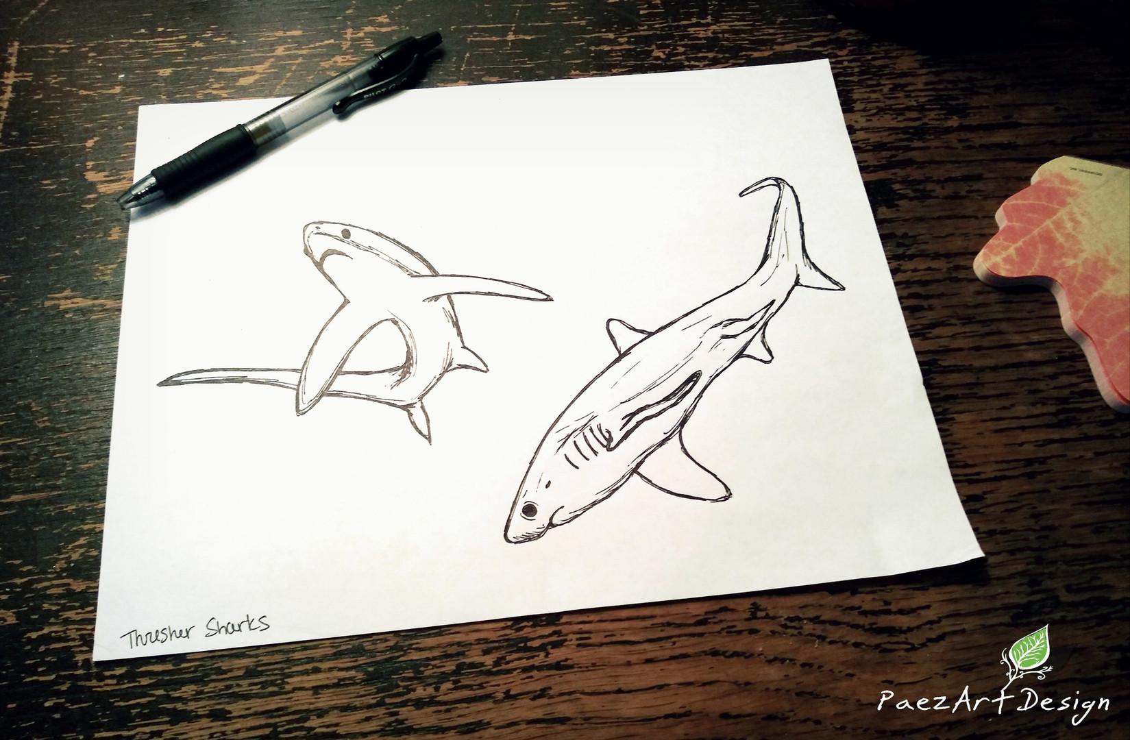 Thresher Shark Sketches