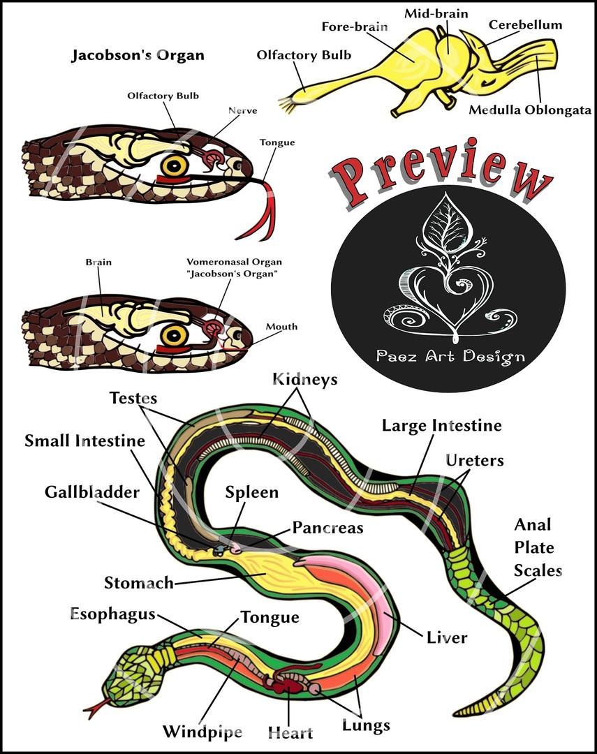 Snake Anatomy Clip Art Bundle {PaezArtDesign}