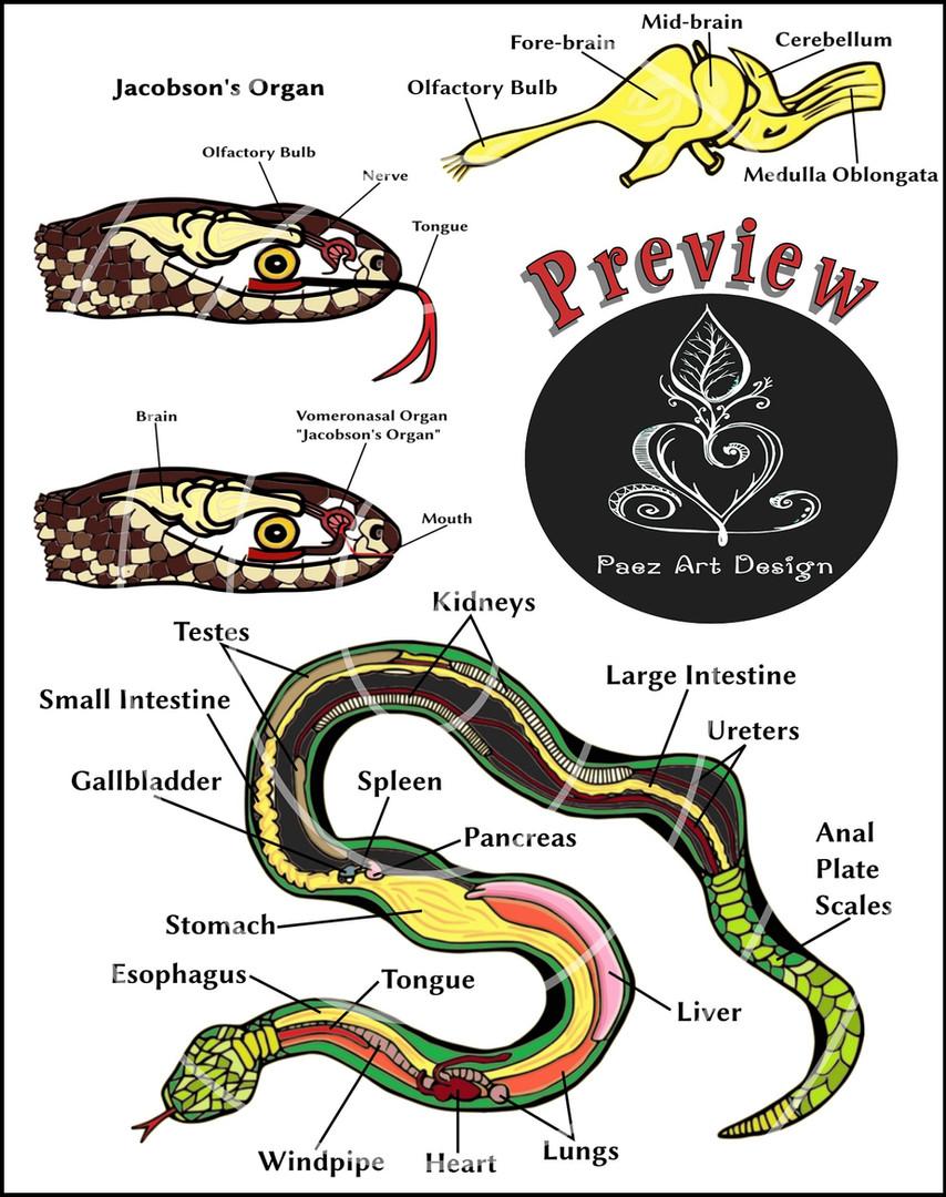Snake Anatomy Clip Art {PaezArtDesign}