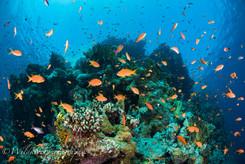 キンギョハナダイの群れ 紅海、エジプト