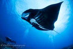 ダイバーとブラックマンタ ヌメア、ニューカレドニア