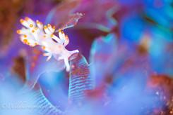 サキシマミノウミウシ 伊豆大島、日本
