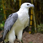 Photo_point-_white_bellied_sea_eagle_(91