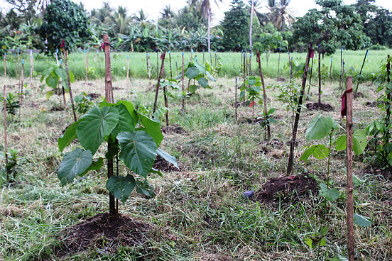 Healthy plantlets at the experimental mounds of Plot 6 at the carbon forest .JPG