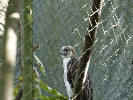 Philippine Eagle Flies Free on World Nature Conservation Day