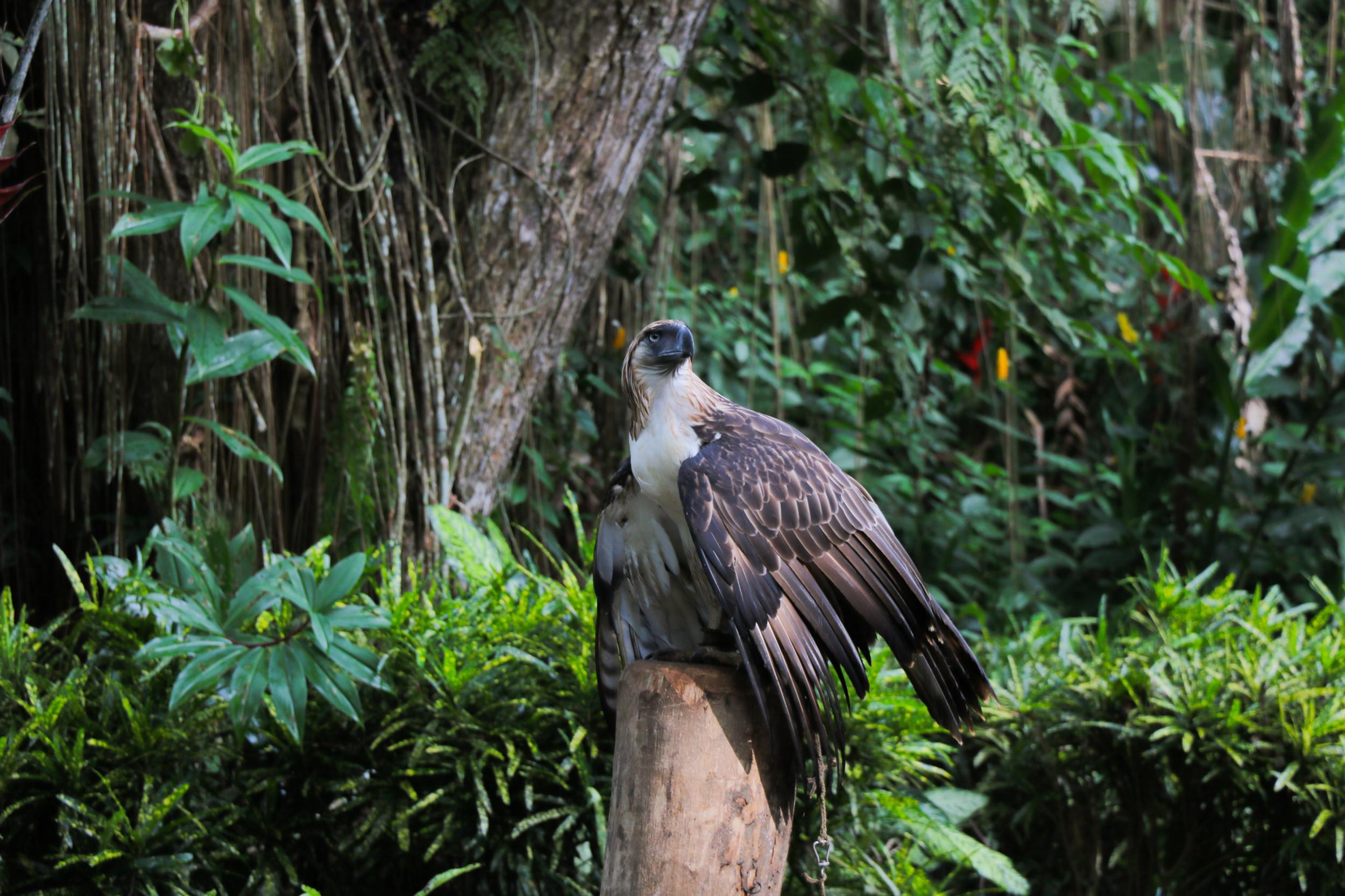 The Philippine Eagle   PEF