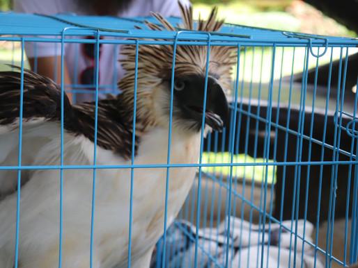 Rescuing Philippine Eagle Tagyaman Fernando