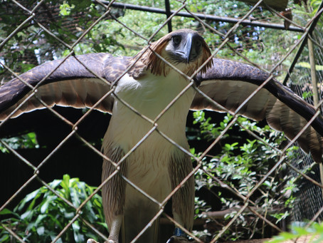 A Breeding Philippine Eagle Gets Adopted