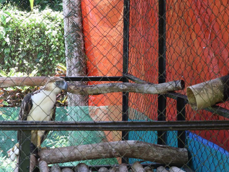 First Philippine eagle Patient for 2021 Admitted at the Philippine Eagle Center