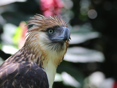 """Eagle Cement Continues Support for Ph Eagle""""Viggo"""""""