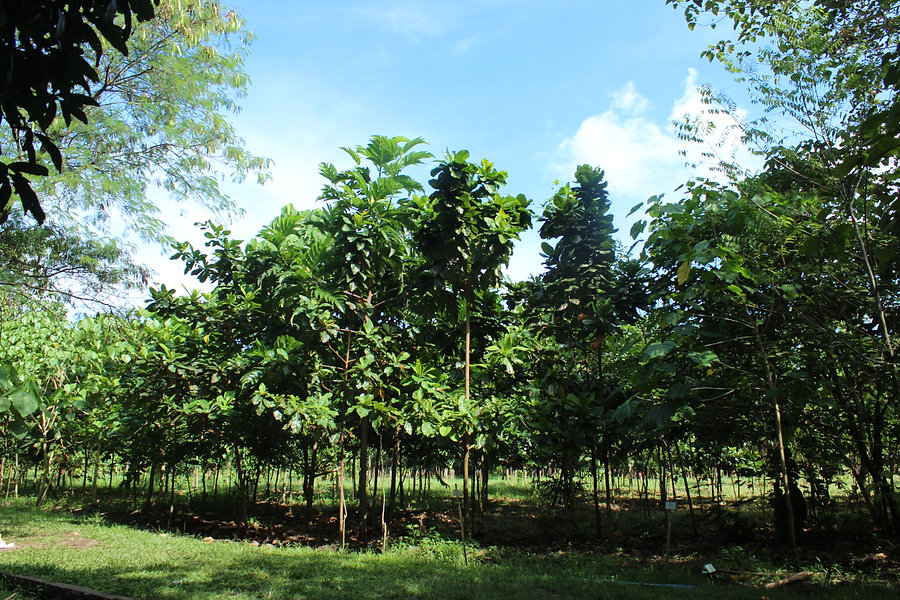 Healthy stands of pioneer trees in one o