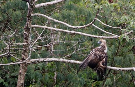 Tracking Philippine Eagle Mal'lambugok