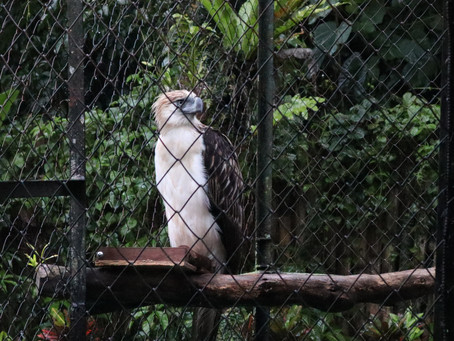 A Family Adopts a Rescued Philippine Eagle