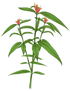 Clinacanthus%20Nutans_edited.png