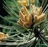 Pine – להשתחרר מהאשמה עצמית ולצאת לחופשי