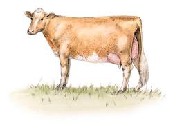 Guernsey Cow