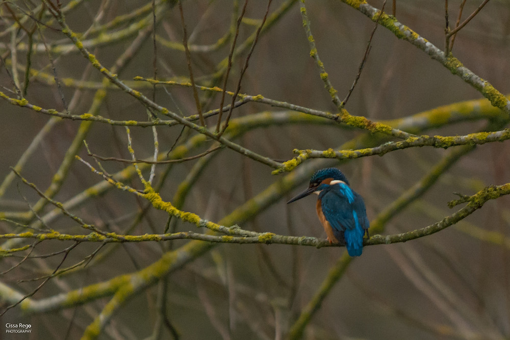 Kingfisher at the Stour Valley Nature Reserve