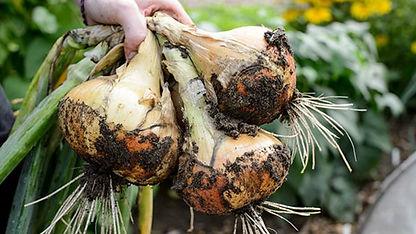 Onion571x321.jpg