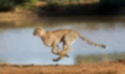 Cheetah%20Running%20Full%20Speed_edited.