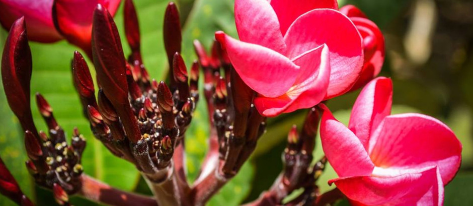 Care of your Frangipani Plant