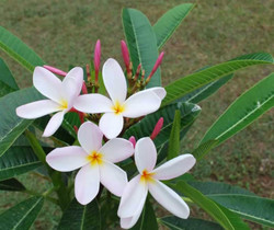 Thailand Pink