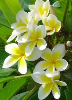 Common White Celadine