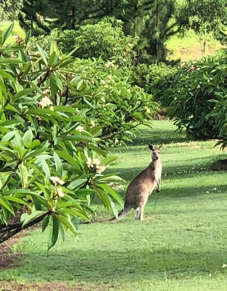 Kangaroos in our frangipani's.jpg