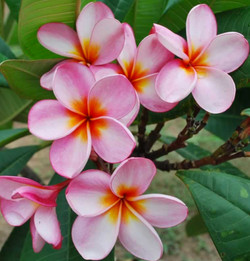 Rosemount Pink