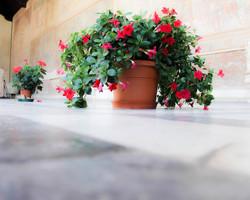 Flowers in Pisa