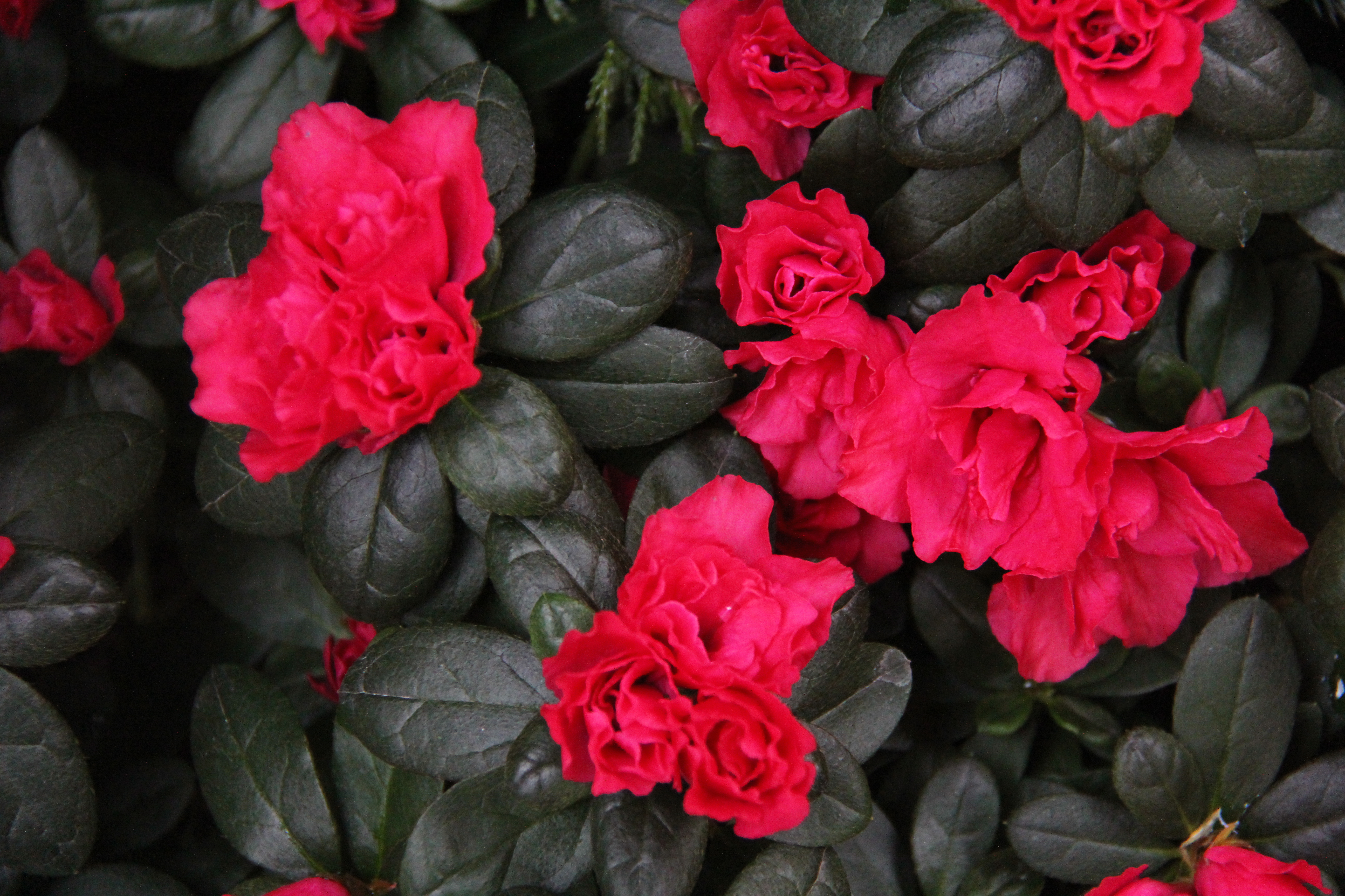 Red glowing fleurs 4 x 6