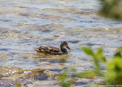 Duck in the Lake, Bruce, 5 x 7.jpg