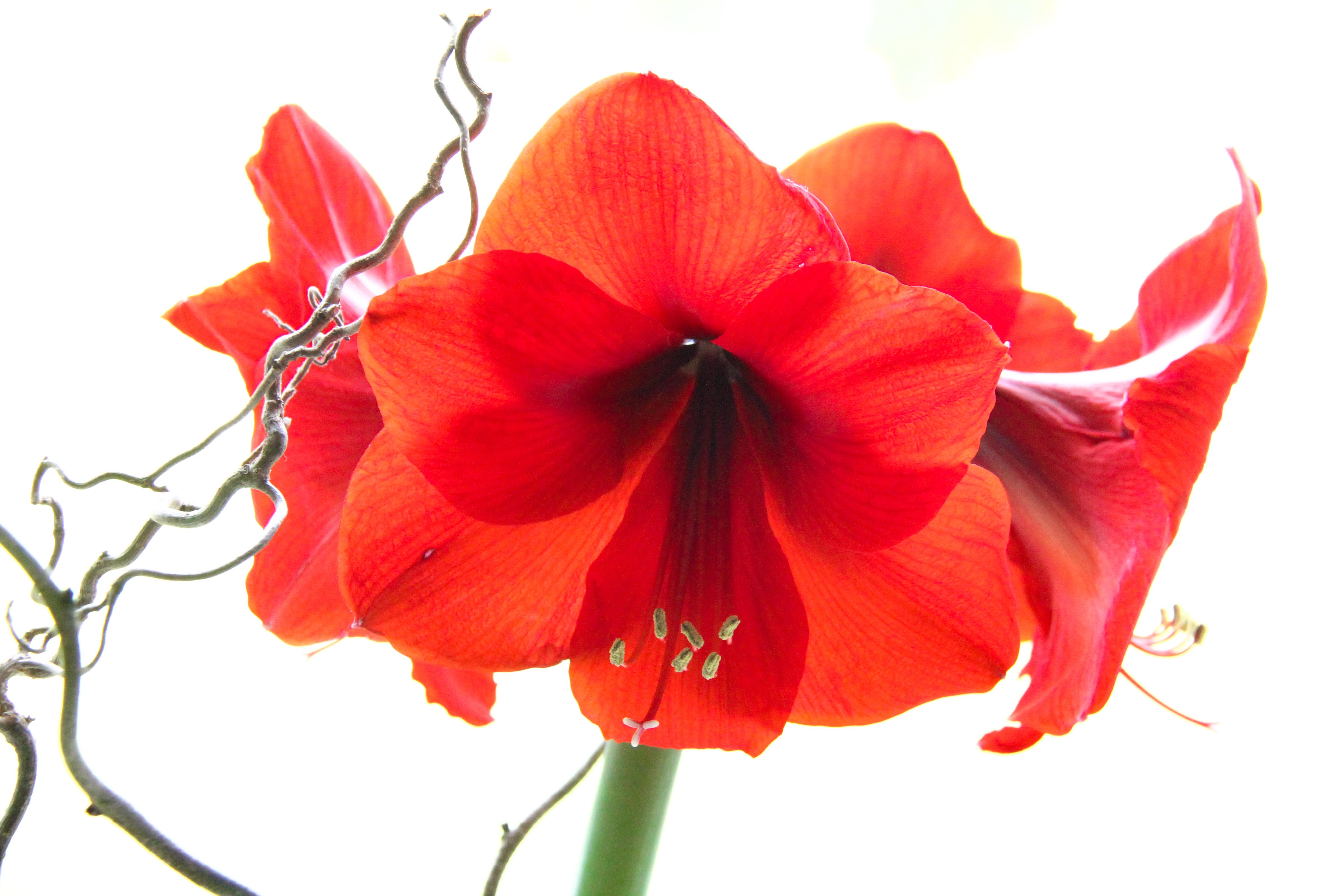 Red glowing fleur 4 x 6
