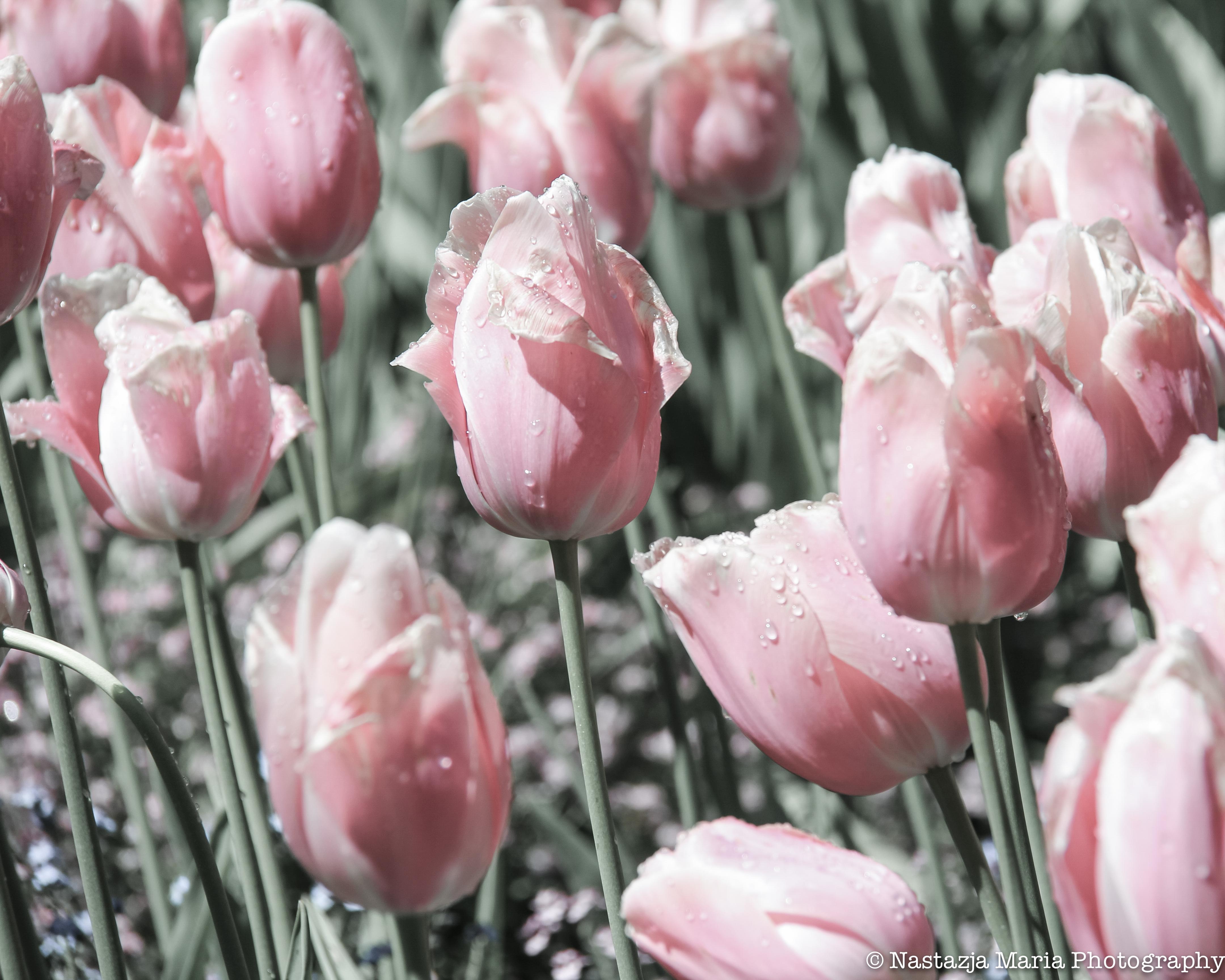 pink bleach tulips mark 8 x 10
